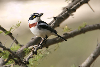 Black-headed Batis (Batis minor)