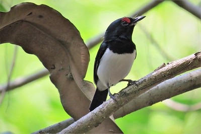 Black-throated Wattle-eye (Platysteira peltata)