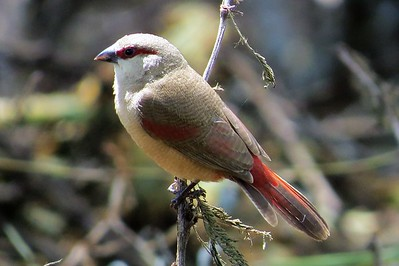 Crimson-rumped Waxbill (Estrilda rhodopyga)