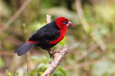 Red-headed Bluebill (Spermophaga ruficapilla)