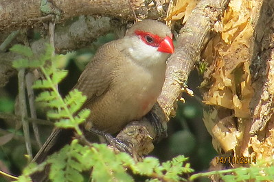 Common Waxbill (estrilda astrild)