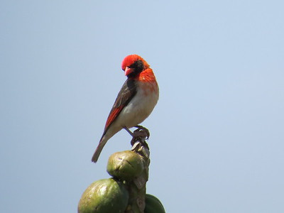 Red-headed Weaver (Anaplectes rubriceps)