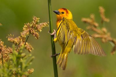 Taveta Golden Weaver (Ploceus castaneiceps)