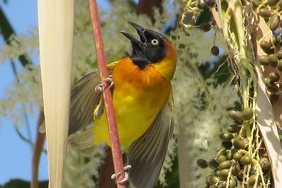 Lesser Masked Weaver (Ploceus intermedius)