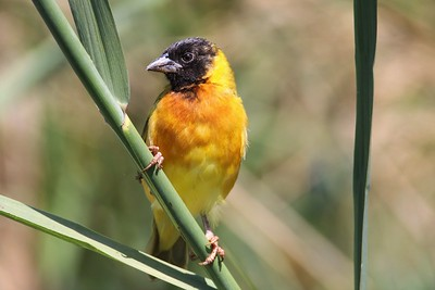 Yellow-backed Weaver (Ploceus melanocephalus)