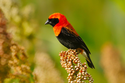 Black-winged Red Bishop (Euplectes hordeaceus)