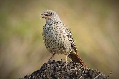 Rufous-tailed Weaver (Histurgops ruficauda)