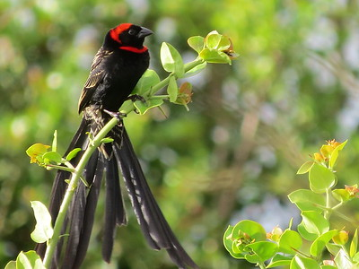 Red-collared Widowbird (Euplectes ardens)