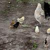 Chick Chicks