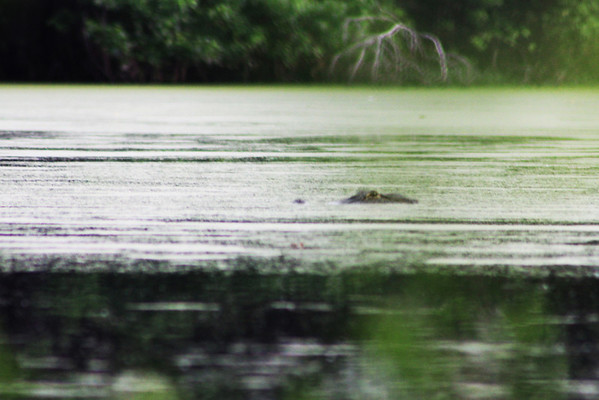I was fishing in a pond, in my kayak, with an alligator!......That is a first for me.