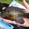 Bream are abundant at this size in the pond.