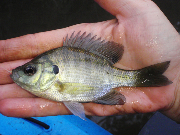 Pesty little fish till they grow up.