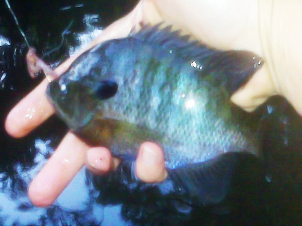 """Mobile upload - Nice bluegill...this was my """"gotta catch that last fish before I go""""....and I did!"""