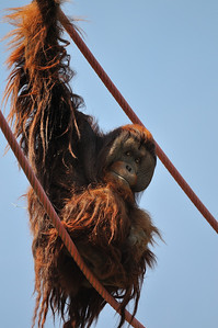 The orangutan does his high wire act.