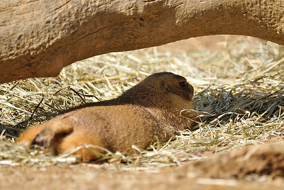 The black-tailed prairie dog seeks some relief from the heat.