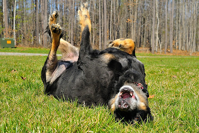 I may be an arthritic 11 year old dog, but I still love a roll in the grass.