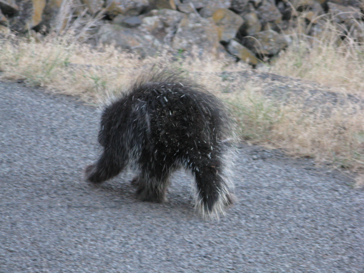 As I was driving back up the hill, I saw this critter strolling across the road.