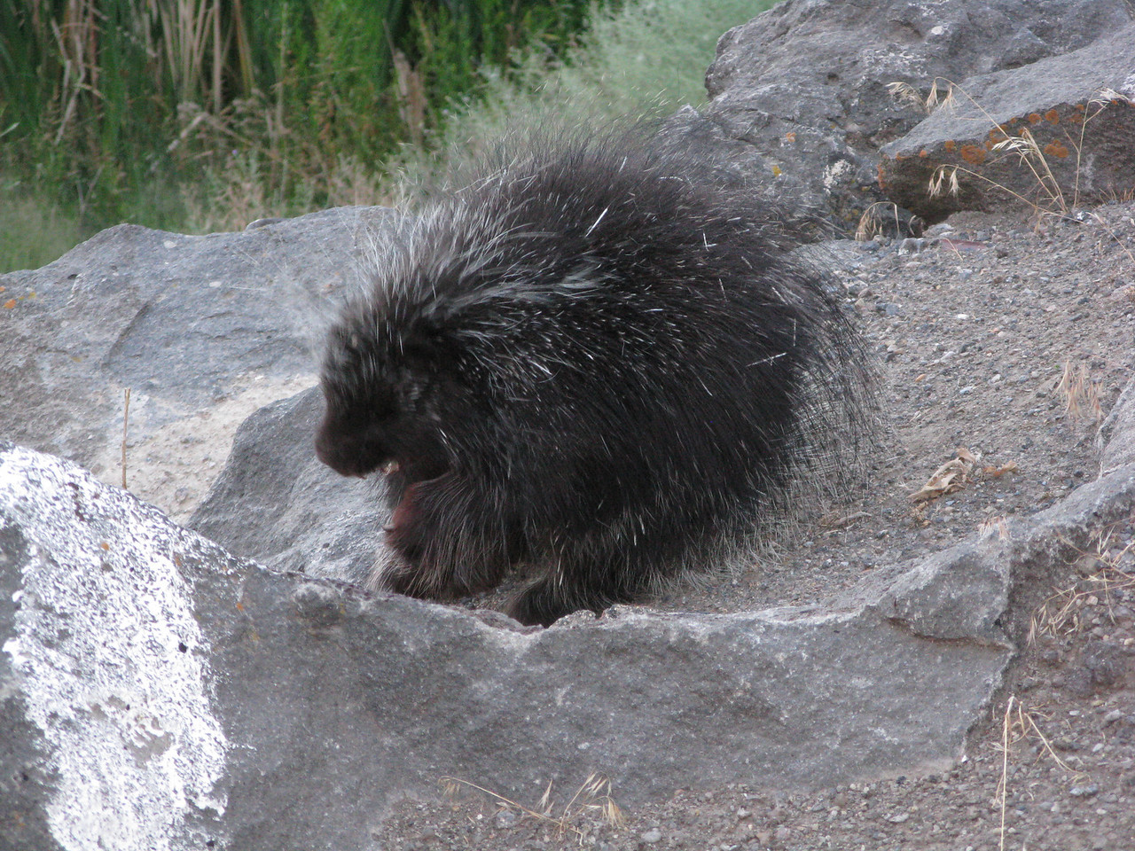 I had never seen one of these animals outside of a zoo.  Trying to make him into a pet would be a prickly proposition.