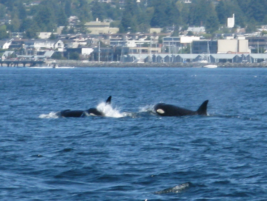 The white spot behind the eye of the whate on the right is typical of orcas or killer whales.