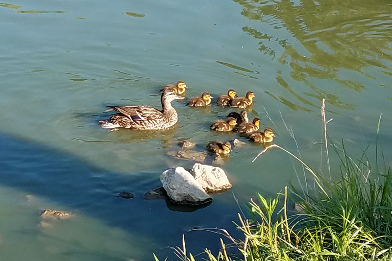 Mother Mallard with 9 ducklings