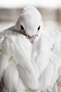 Large White Pelican resting cozy
