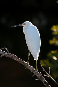 Egret taking a rest