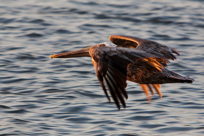 Mature Brown Pelican soaring just off the water surface.  Beautiful golden light of late day.
