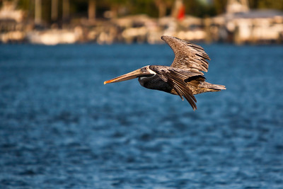 Mature Brown Pelican