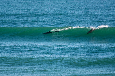 Dolphin Body Surfing