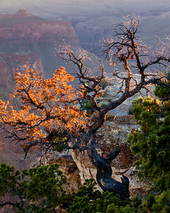 The last Rays of light glowing on an old twisted Juniper