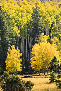 Aspen Trees in the Fall Lockett Meadows, Flagstaff