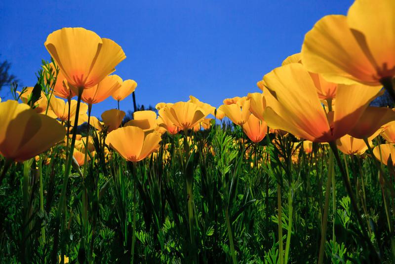 IMAGE: http://shawncarden.smugmug.com/New-Adventures/2013-Adventures/AZ-Wildflowers-2013/i-BTbS67X/0/L/AZ%20Wilflowers%202013-0088-L.jpg