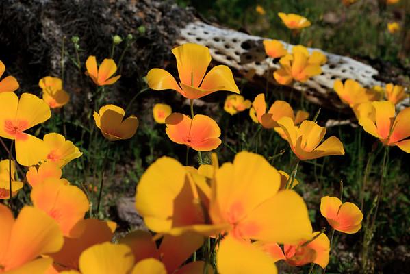 2013 AZ Wildflowers