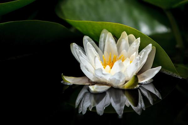 Thom's Water Lily, Sheridan, Oregon