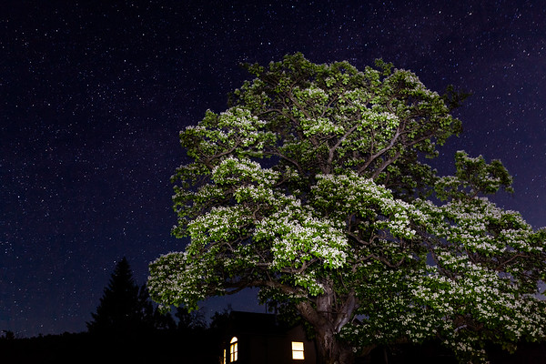 Morning Cloud Chilopsis Tree  under the canopy of Stars.