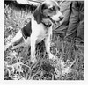Reuben H. Reynolds' dog, Dandy.  1952