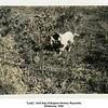 """""""Lady"""", bird dog of Eugene Nowery Reynolds.<br /> Oklahoma, 1940."""