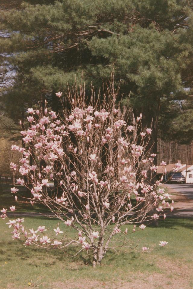 3 Nottingham Magnolia Tree 24
