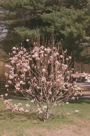 3 Nottingham Magnolia Tree 26