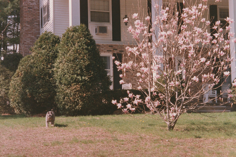 3 Nottingham Magnolia Tree 23