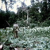 National serviceman, Private Russell Cromarty, 3 Section, 7 Platoon 9RAR, South Vietnam, 1969. Maize, planted by the Viet Cong; we were destroying it. Russel was number 2 on the section machine gun.