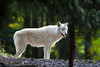 White Wolf_5178