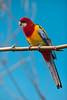 Parrot_5244