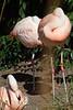 Sleeping Flamingos_5266