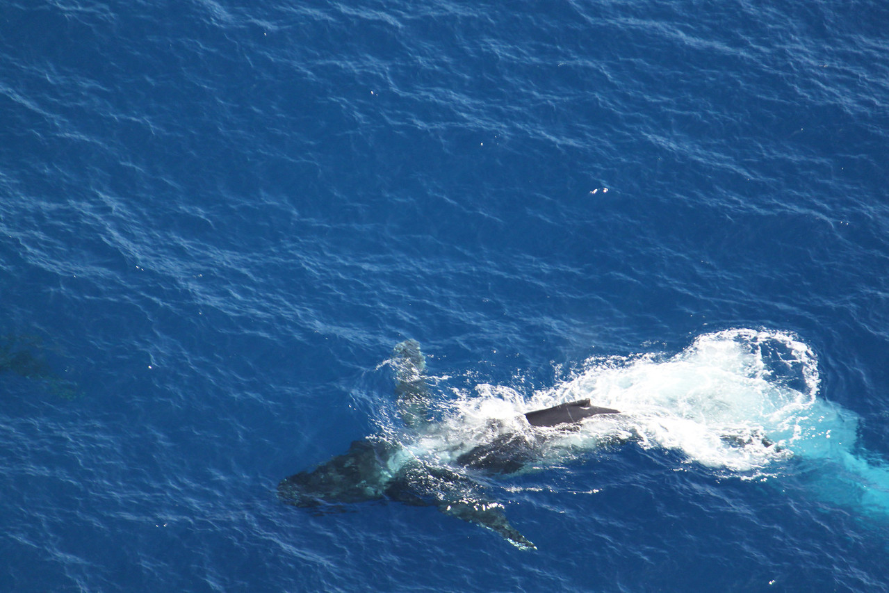 Pods of humpbacks in the Molokai Channel.