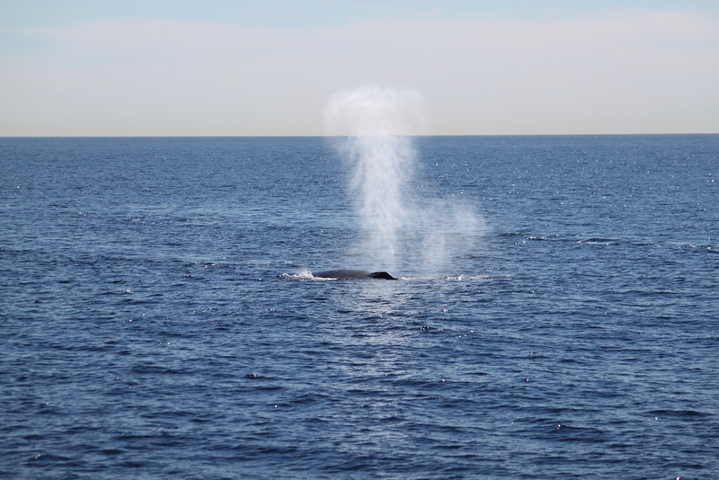 Fin whale sighting, 'thar she blows!