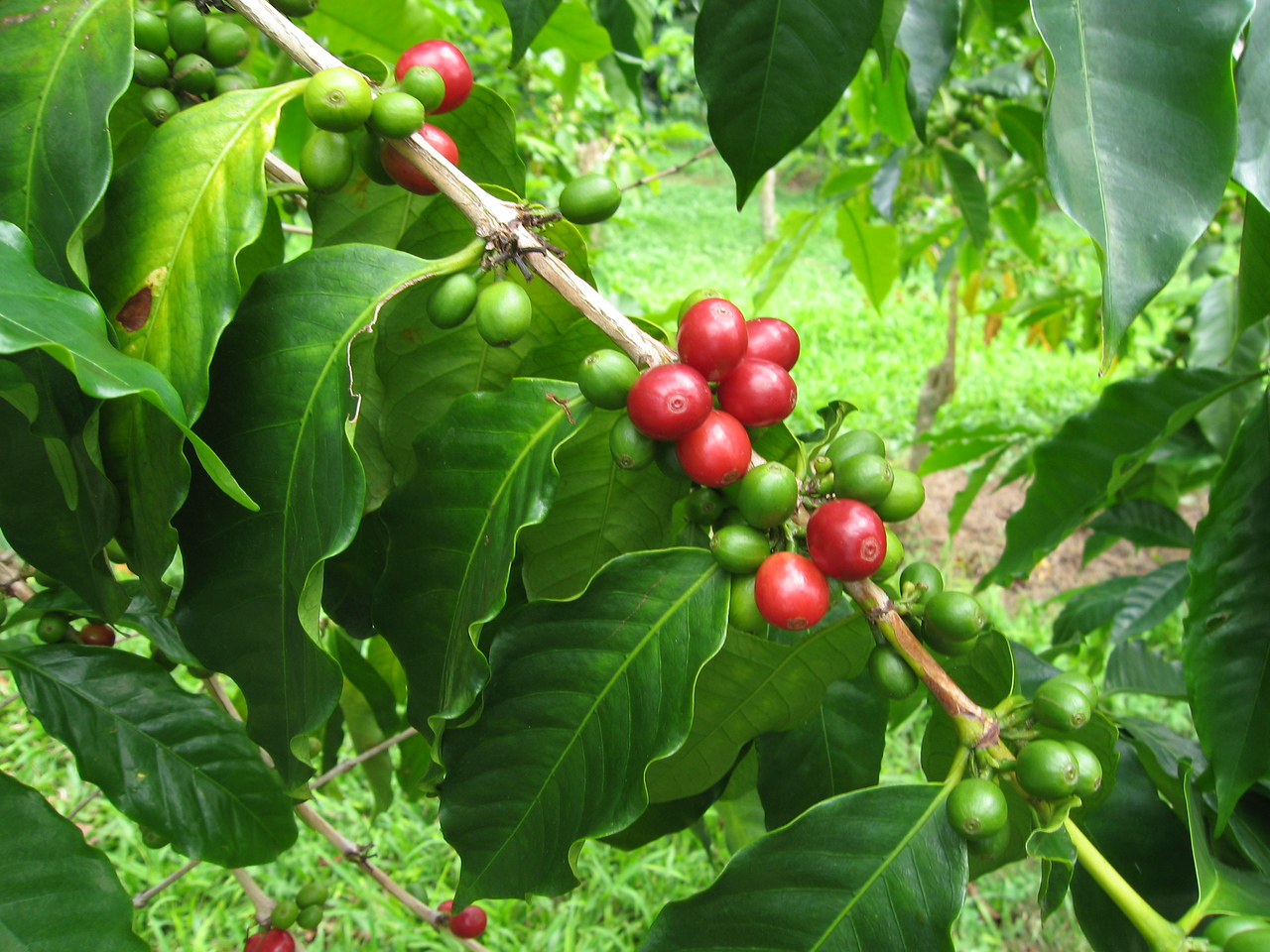 "Ripe ""cherry"" coffee beans ..."