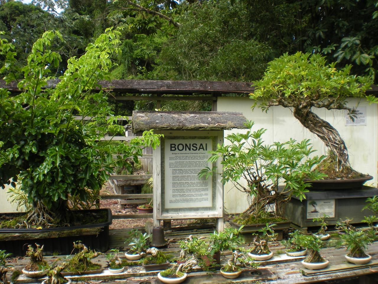 Banyon tree bonsai.