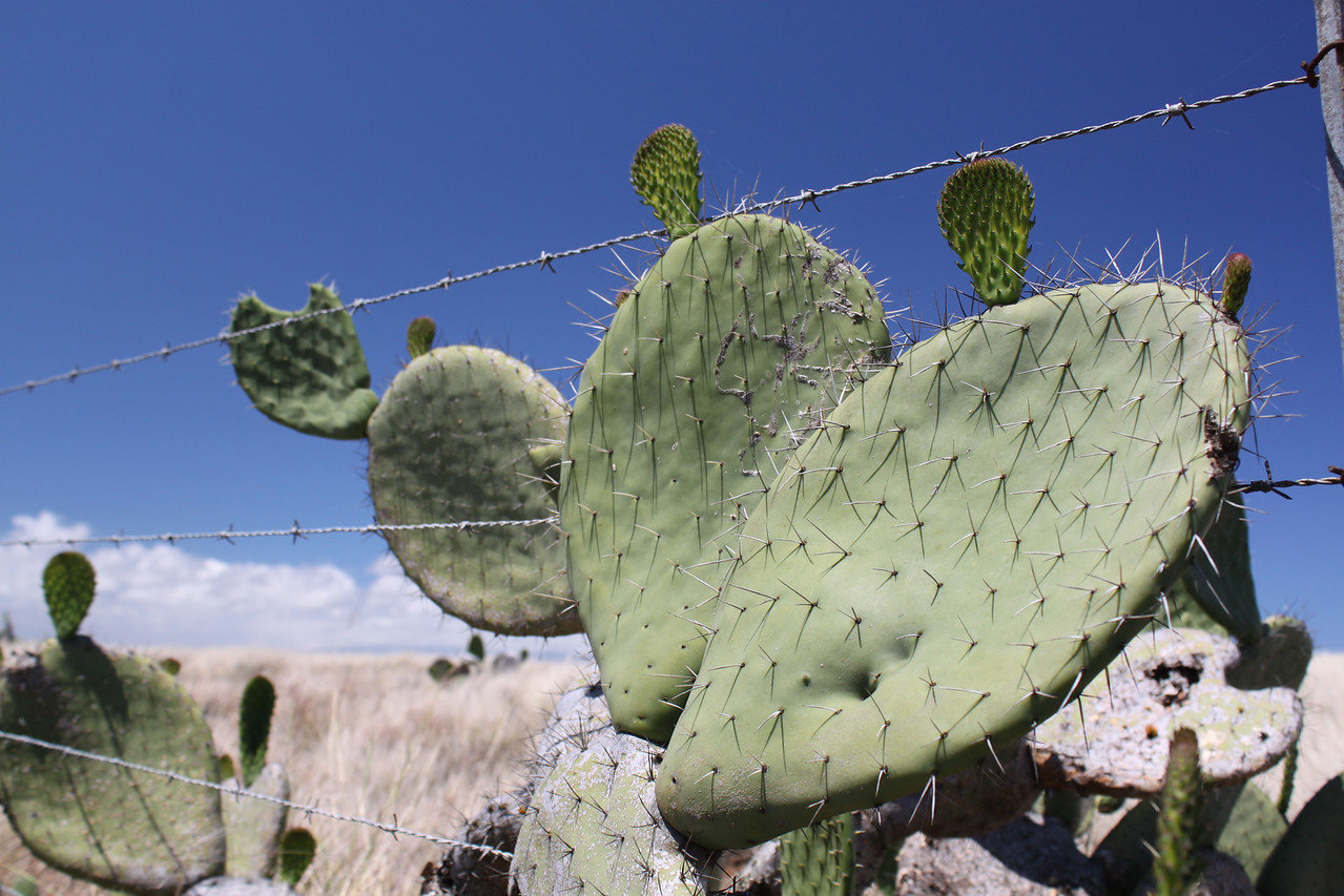 Cacti on the Parker Ranch plain.