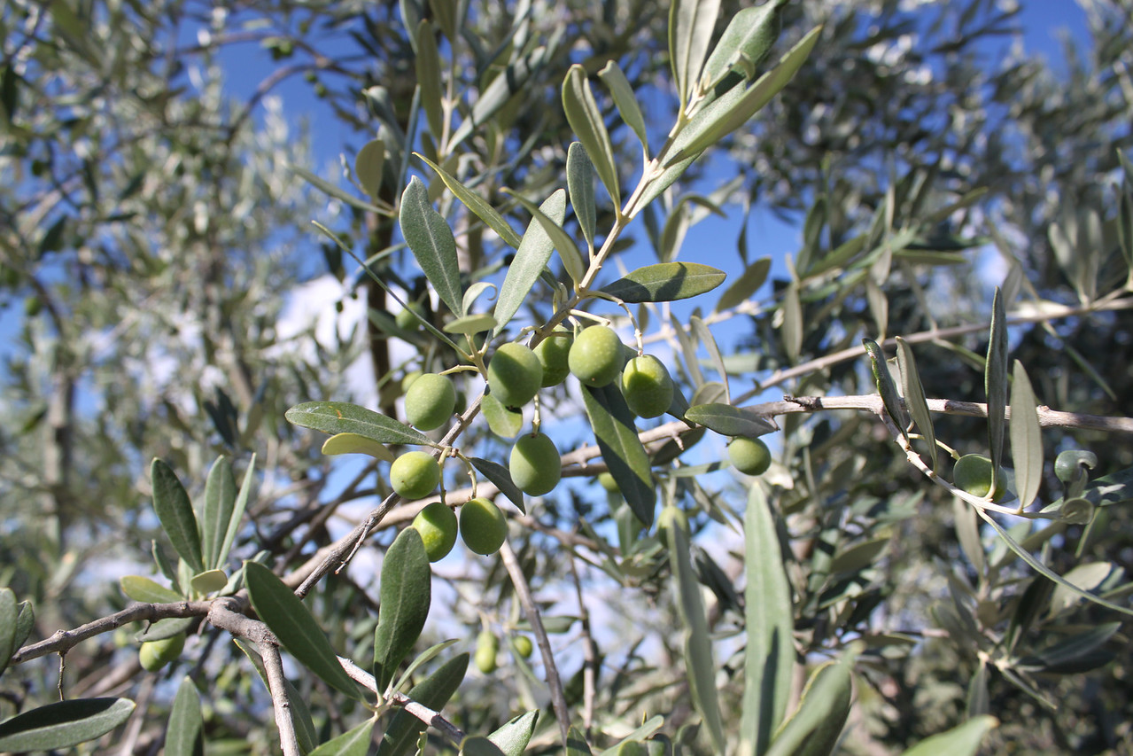 Olives on the property.
